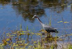 little blue heron gone fishing - stock photo