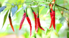 Red chili pepper on tree Stock Footage
