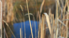 Pan of cattail plant in fall Stock Footage