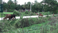 Stock Video Footage of Some Asian cattle graze along a road on their way home