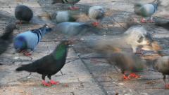 Pigeons feeding timelapse Stock Footage