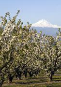 Mount hood stands in the distance over fruit orchard Stock Photos