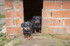 Small brown dachshunds Stock Photos