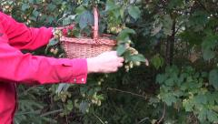 Picking fresh hop cones in garden Stock Footage