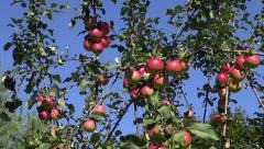 Fresh apple harvest on autumn tree branch Stock Footage