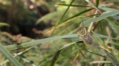 Cicada - Cicadidae - stock photo