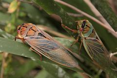 Cicada - Cicadidae Stock Photos