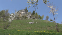 Spring flower mountain nature blossom tree pasture alps rock sunny beautiful sky Stock Footage
