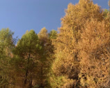 Stock Video Footage of European Larch woodland in autumn colour + pan