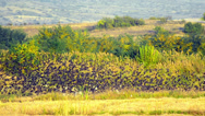 Stock Video Footage of large flock of birds fly over rice harvest field stock video