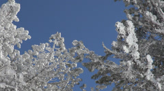 Fir pine covered snow white nature mountain park alps winter frozen tree detail  Stock Footage