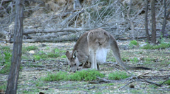 Stock Video Footage of kangaroo & Joey