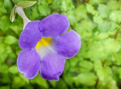 thunbergia/thunbergia battiscombei - stock photo