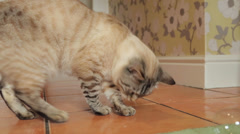 Bengal cat playing with bubbles Stock Footage