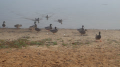 Ducks in foggy morning near the lake Stock Footage