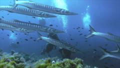 Huge school of barracudas passing scubadivers, mediterranean sea Stock Footage