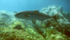 Big school of amberjacks over rocky reef, mediterranean sea Stock Footage