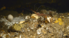 Close shot of common shrimp under water Stock Footage