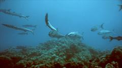 Quick approach of amberjacks in mediterrenean sea Stock Footage