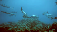 Stock Video Footage of Group of amberjacks approaching quickly