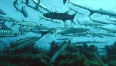 Huge school of barracudas at mediterranean reef Stock Footage