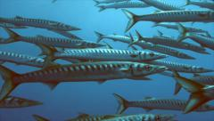 Huge shool of barracudas in mediterranean sea Stock Footage