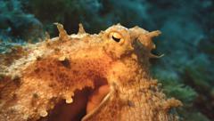 Close shot of octopus eyes in mediterranean sea Stock Footage