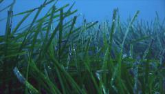 Field of Posidonia sea weed in mediterranean sea Stock Footage