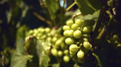 Grapes of wine in vinestock, shallow field of depth Stock Footage