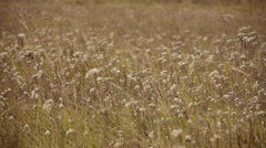Field of fodder crops Stock Footage