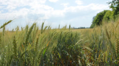 Through and Up Over Wheat Field HD Stock Footage