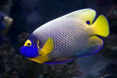 Angelfish - stock photo