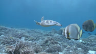 Stock Video Footage of green sea turtle (Chelonia mydas) with batfish