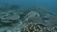 Stock Video Footage of green sea turtle (Chelonia mydas) swim in the coral garden