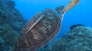 Stock Video Footage of green sea turtle (Chelonia mydas) swim to surface, LONG CLIP!