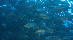 Large school of fish in Pacific ocean - trevally, Cocos Island Stock Footage