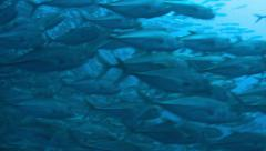 School of fish (Caranx melampygus) with scuba diver. Two different footage! Stock Footage