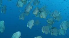 School of tropical fish swimming - circular batfish, spadefish Stock Footage