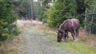 Stock Video Footage of Grazing Heavy Draft Horse