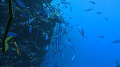 Stock Video Footage of school of Red sea fusilier fish (caesio suevica)