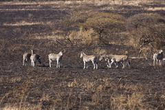Dazzle of zebra on burnt savanna Stock Photos