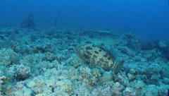 Grouper fish swimming over bottom - Red Sea Stock Footage