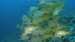School of colorful tropical fish over the coral reef -Black spotted sweetlips Stock Footage