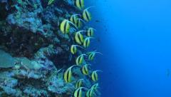 School of tropical fish - yellow banner fish Stock Footage