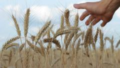 Hand Touching Dry Wheat Ears, Wheat Harvest HD Stock Footage