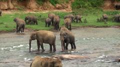 Herd of elephants is bathing in Maha Oya river. Sri Lanka. Stock Footage