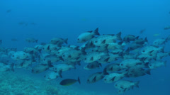 School of fish, black snapper - Red Sea Stock Footage