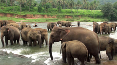 Mahout with the elephants at the river. Stock Footage