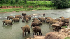 Herd of elephants is bathing in Maha Oya river. Sri Lanka. Stock Footage