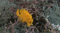 Yellow frogfish, anglerfish - antennarius pictus, Lembeh, Indonesia Stock Footage